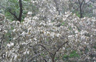 箕面の森で「ナラ枯れ」被害が拡大!