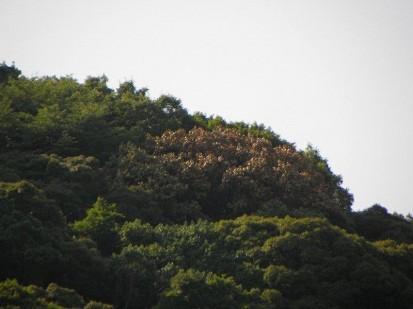府営箕面公園内の「ナラ枯れ」被害木処理02