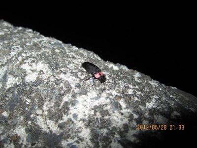 【速報】箕面鍋田川で大阪府準絶滅危惧種ヒメボタルを発見♪01