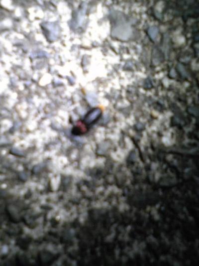 【速報】箕面鍋田川で大阪府準絶滅危惧種ヒメボタルを発見♪02