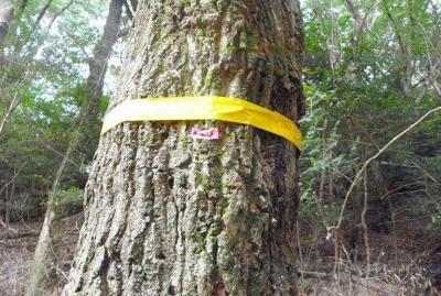 箕面の森で「ナラ枯れ」被害が拡大!03