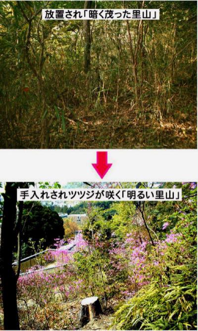 手入れされ、ツツdジが咲く「明るい里山」