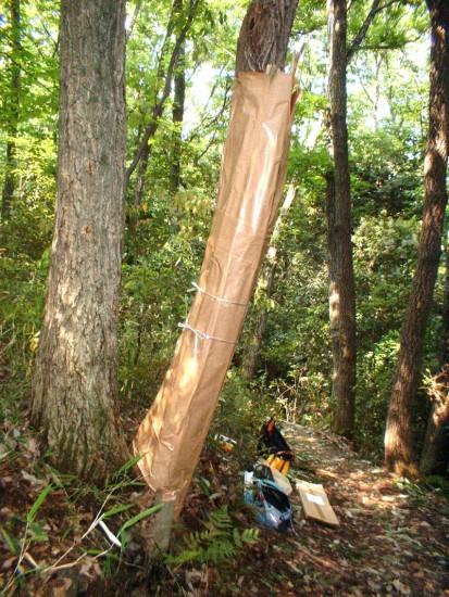 """ナラ枯れ被害木に""""粘着テープ""""を巻いて対応(右側の木/箕面・善福寺裏山で、昨年6月"""