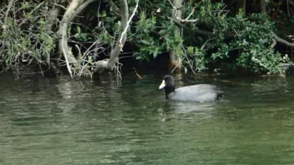 才ヶ原池のオオバン