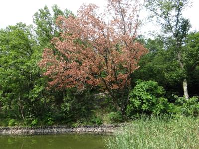 東公園池端の枯死木