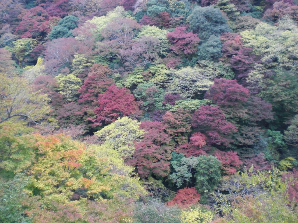 箕面大滝斜面の紅葉1