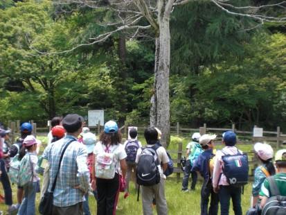 イロハカエデの木 (1)