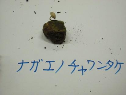ナガエノチャワンタケ