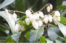 アセビ の花